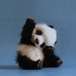 little_panda фотография